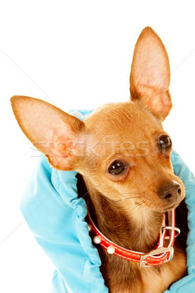 Cute pet Stock photo © pressmaster