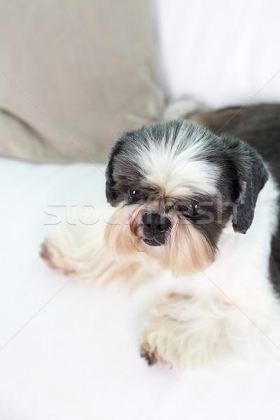 Cute dog Stock photo © pressmaster