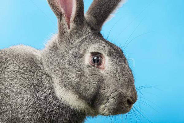 Stock photo: Rabbit head