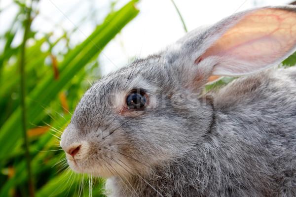 Bonitinho animal imagem cauteloso cinza coelho Foto stock © pressmaster