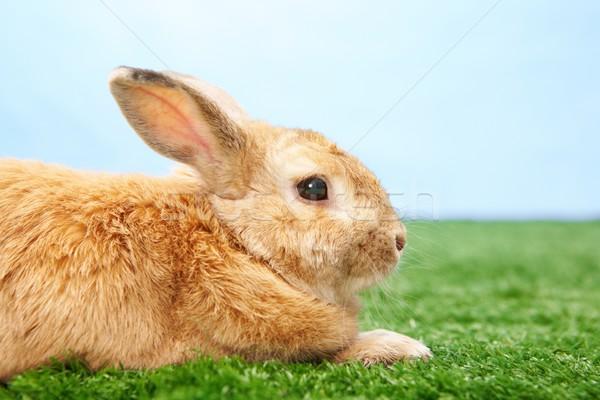 Fluffy animal Stock photo © pressmaster