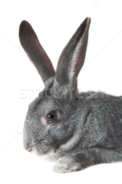 Rabbit Stock photo © pressmaster