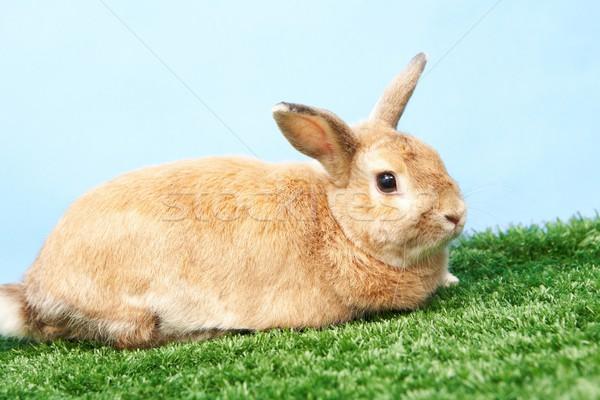 Fluffy rabbit Stock photo © pressmaster