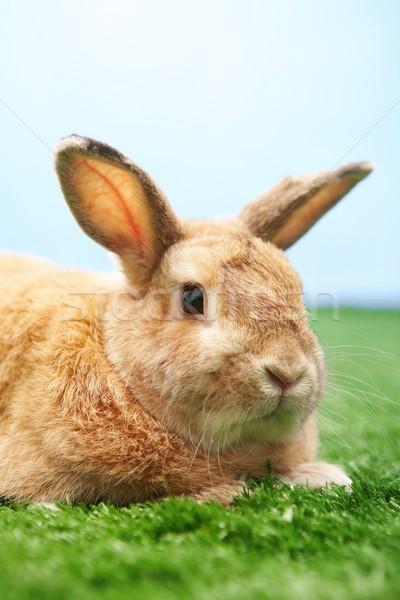 Bonitinho animal de estimação imagem cauteloso rabino grama verde Foto stock © pressmaster