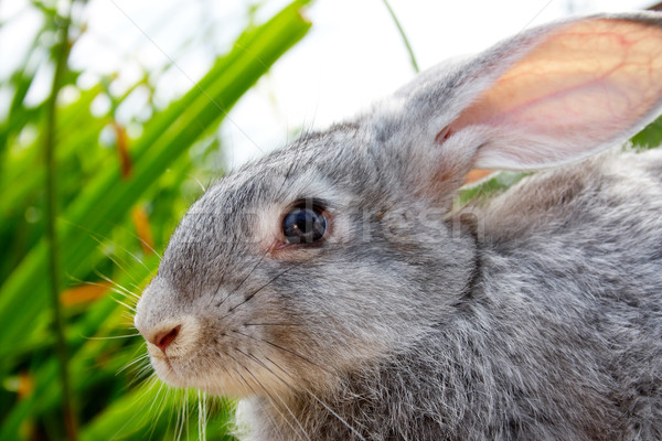 Aranyos állat kép elővigyázatos szürke nyuszi Stock fotó © pressmaster
