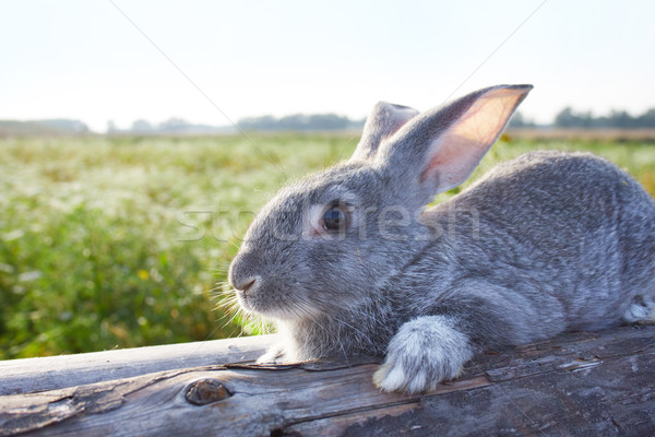 Farm animal Stock photo © pressmaster
