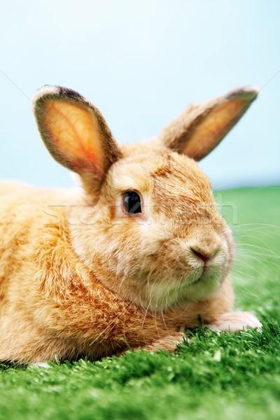 Soffice animale immagine guardingo coniglio erba verde Foto d'archivio © pressmaster