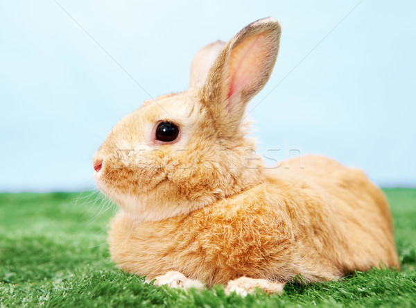 Pelucheux créature image cute lapin herbe verte Photo stock © pressmaster