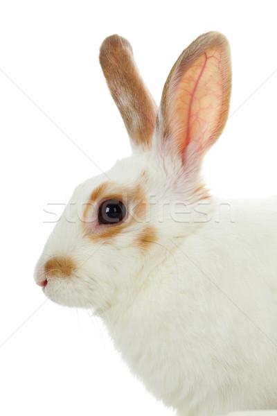 Bonitinho animal de estimação imagem cauteloso rabino cabeça Foto stock © pressmaster