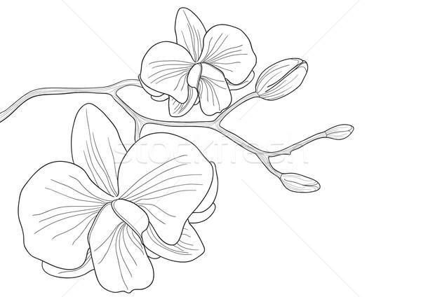 Цветы лилия рисунок