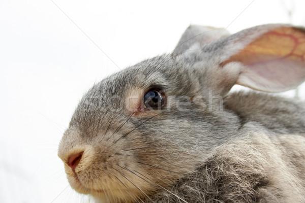 Сток-фото: Cute · животного · изображение · осторожный · серый · Bunny