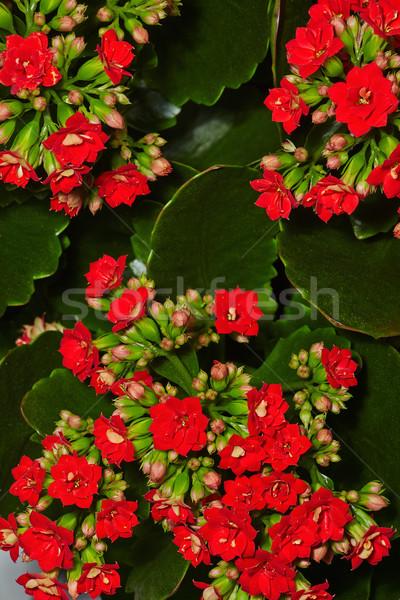 Geranium in bloom Stock photo © pressmaster