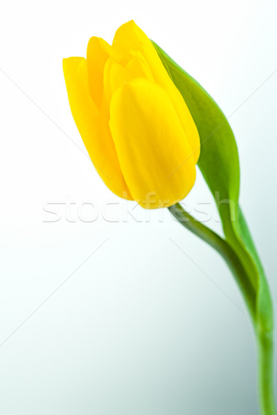 Giallo tulipano immagine isolato bianco donne Foto d'archivio © pressmaster