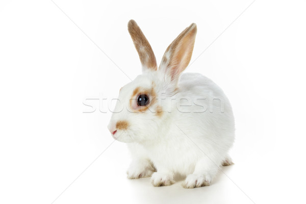 Bonitinho animal imagem cauteloso rabino branco Foto stock © pressmaster