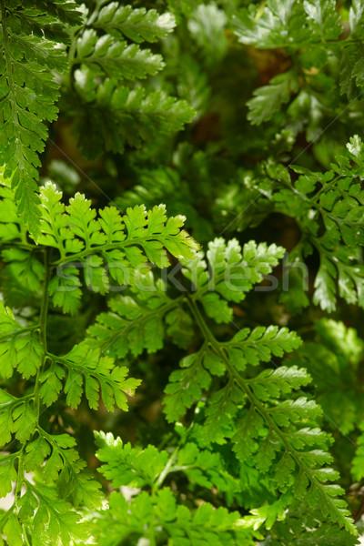 シダ クローズアップ 緑 抽象的な 自然 葉 ストックフォト © pressmaster