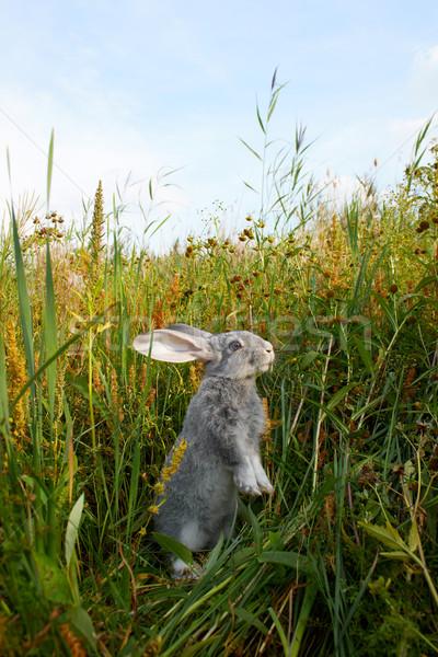 Coniglio erba immagine guardingo coniglio piedi Foto d'archivio © pressmaster