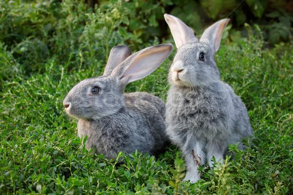 Couple of rabbits Stock photo © pressmaster