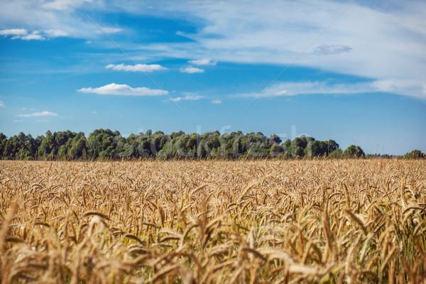 Búzamező friss termény búza boldog háttér Stock fotó © prg0383