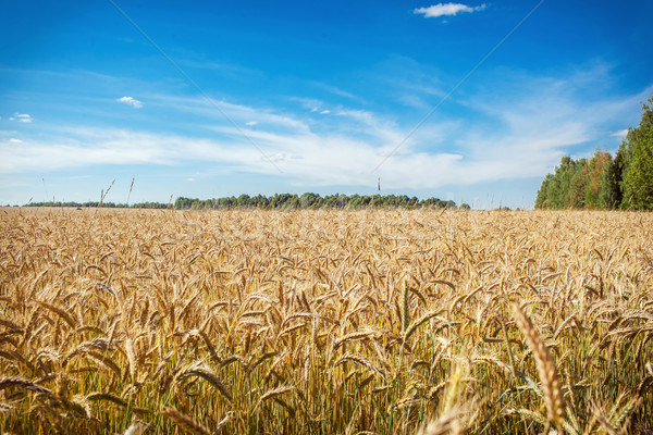 Campo de trigo frescos trigo feliz fondo Foto stock © prg0383