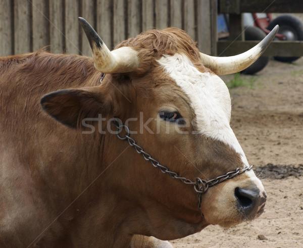 cattle portrait Stock photo © prill