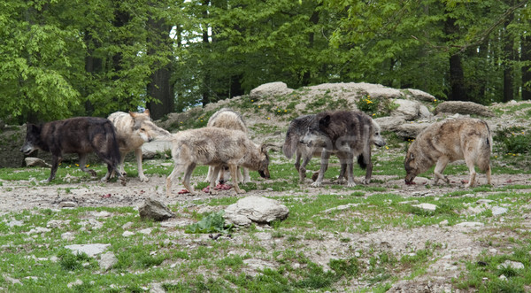 pack of Gray Wolves near forest edge Stock photo © prill