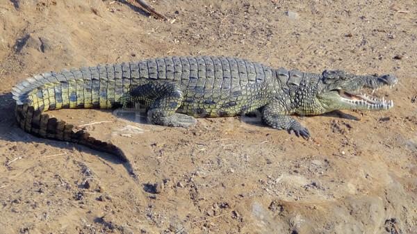 Afrikai krokodil napos díszlet pihen föld Stock fotó © prill