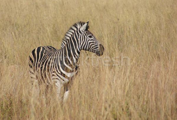 Zebra szavanna napos díszlet Botswana Afrika Stock fotó © prill