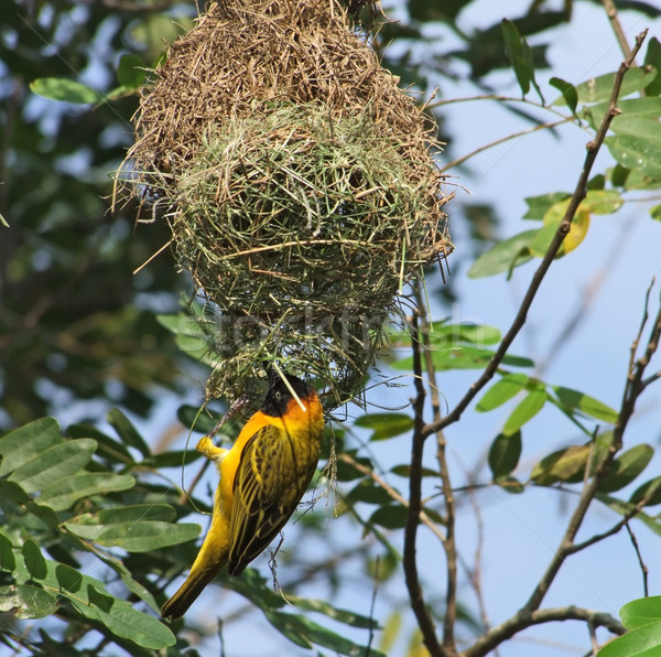Weaver Bird and nest in Africa Stock photo © prill