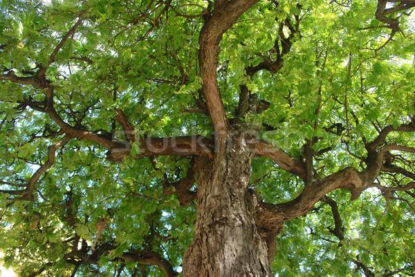 carob treetop Stock photo © prill