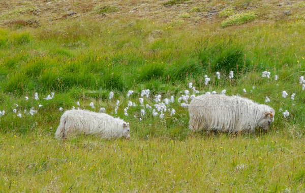 Icelandic sheep in Iceland Stock photo © prill