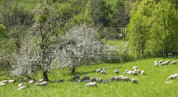 sheep at spring time Stock photo © prill