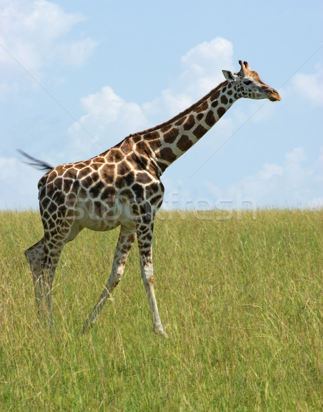 Giraffa Uganda africa piedi verde savana Foto d'archivio © prill