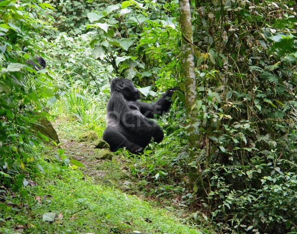 Mountain Gorilla in the cloud forest Stock photo © prill
