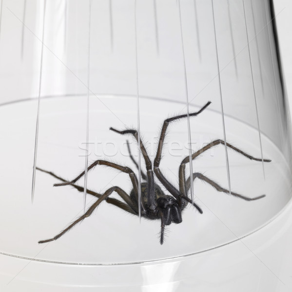caught spider under a glass bowl Stock photo © prill