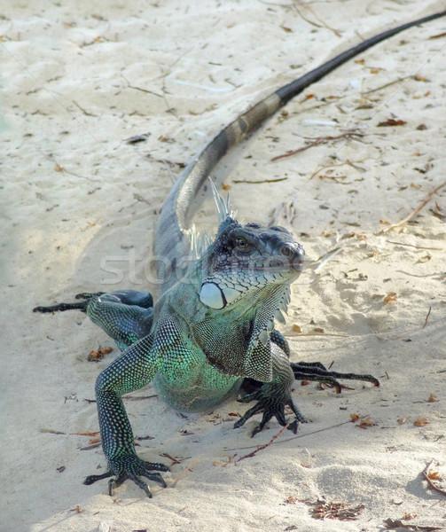 Green Iguana Stock photo © prill