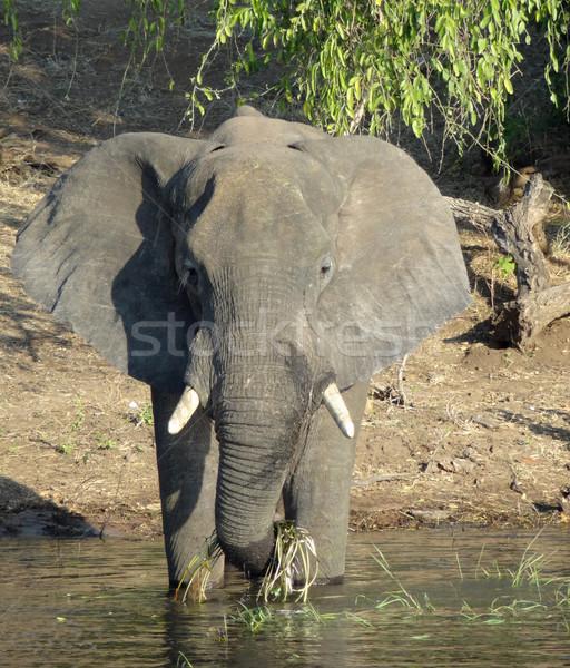 Słoń Botswana dekoracje Afryki wody drewna Zdjęcia stock © prill