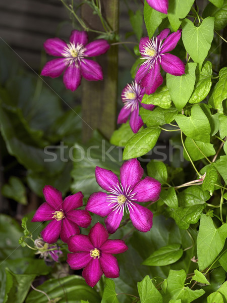intense Clematis flowers Stock photo © prill