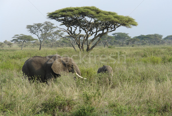 savannah scenery with two Elephants in high grass Stock photo © prill