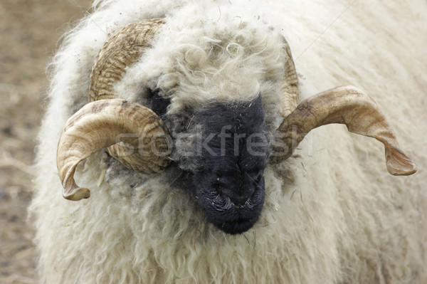 Valais Blacknose sheep Stock photo © prill