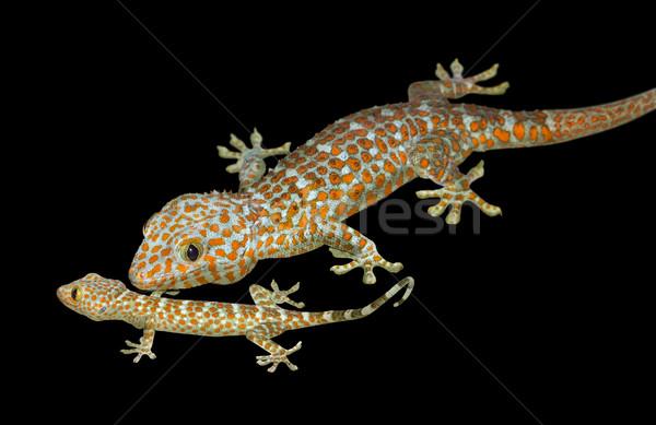 Tokay geckos Stock photo © prill