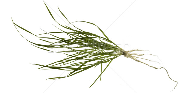isolated grass plant Stock photo © prill
