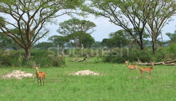 Uganda Kobs in african Savannah Stock photo © prill