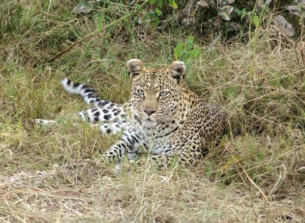 Pihen leopárd föld játék tartalék Botswana Stock fotó © prill