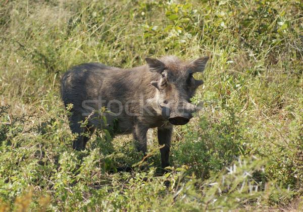 南アフリカ 風景 草 肖像 豚 頭 ストックフォト © prill
