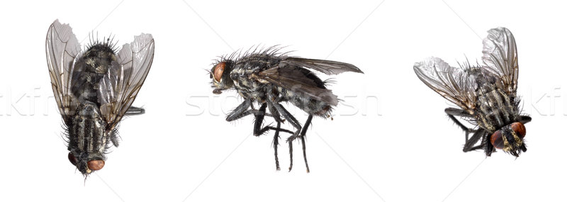 dead flies Stock photo © prill