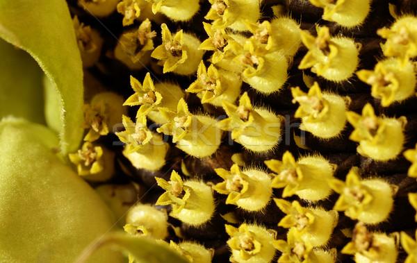 sunflower blossom detail Stock photo © prill