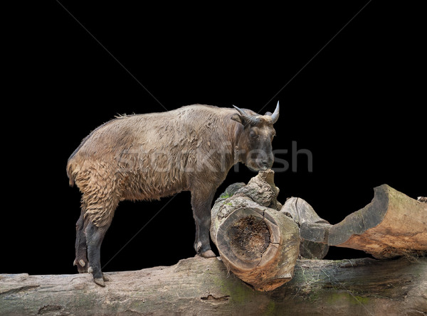Takin on wooden tree trunk Stock photo © prill
