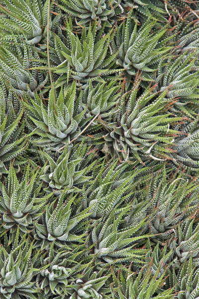 abstract succulent plants Stock photo © prill