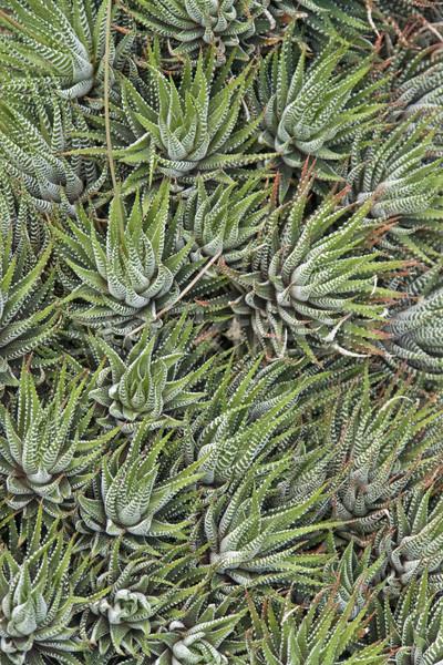 Foto d'archivio: Abstract · succulente · impianti · naturale · full · frame · dettaglio