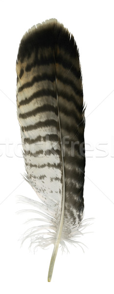 raptor´s feather Stock photo © prill